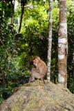 Άγριος πίθηκος στο εθνικό πάρκο Khoa Yai Στοκ Φωτογραφία