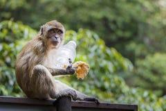 Άγριος πίθηκος Macaque με τα τρόφιμα Στοκ Εικόνες