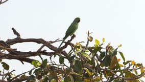 Άγριος πράσινος παπαγάλος ροδαλός-Ringed Parakeet, Psittacula Krameri στο Varanasi, Ινδία, βίντεο μήκους σε πόδηα 4K απόθεμα βίντεο