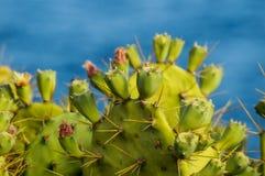 Άγριος πράσινος Succulent κάκτος αχλαδιών Pricly Στοκ φωτογραφία με δικαίωμα ελεύθερης χρήσης