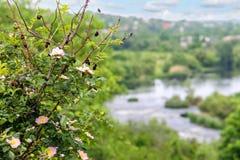 Άγριος ροδαλός θάμνος σε ένα υπόβαθρο των ορμητικά σημείων ποταμού ποταμών Στοκ Εικόνες