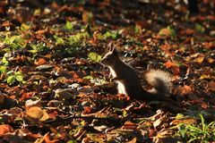 Άγριος σκίουρος στο πάρκο στοκ εικόνες