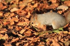 Άγριος σκίουρος στο πάρκο στοκ φωτογραφίες με δικαίωμα ελεύθερης χρήσης