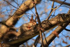 Άγριος σκίουρος στο πάρκο στοκ εικόνες με δικαίωμα ελεύθερης χρήσης