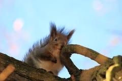 Άγριος σκίουρος στο πάρκο στοκ εικόνα