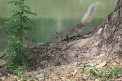 Άγριος σκίουρος Στοκ Εικόνες