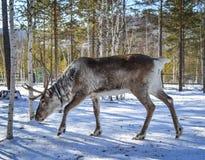 Άγριος τάρανδος στο χειμερινό δάσος στοκ εικόνες