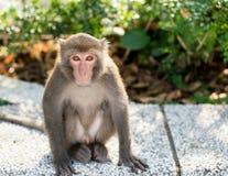 Άγριος ταϊβανικός Formosan πίθηκος βράχου macaque στοκ εικόνα