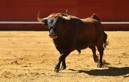 Άγριος ταύρος στην αρένα ταυρομαχίας με τα μεγάλα κέρατα στοκ φωτογραφίες με δικαίωμα ελεύθερης χρήσης