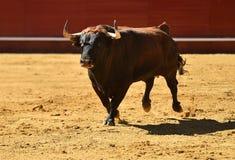 Άγριος ταύρος στην αρένα ταυρομαχίας με τα μεγάλα κέρατα στοκ εικόνες με δικαίωμα ελεύθερης χρήσης