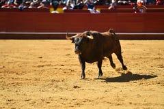Άγριος ταύρος στην αρένα ταυρομαχίας με τα μεγάλα κέρατα στοκ φωτογραφία