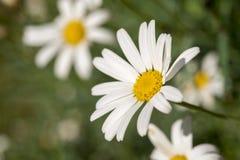 Άγριος τομέας λουλουδιών μαργαριτών σε θερινή περίοδο στοκ φωτογραφία με δικαίωμα ελεύθερης χρήσης