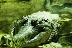 Άγριος τροπικός εξωτικός ζωικός κροκόδειλος με τα μεγάλα δόντια που κολυμπούν στη φυσική υπαίθρια έννοια άποψης κινηματογραφήσεων Στοκ φωτογραφίες με δικαίωμα ελεύθερης χρήσης