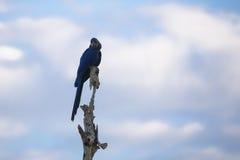 Άγριος υάκινθος Macaw πάνω από την πέρκα δέντρων ενάντια στο μπλε ουρανό, σύννεφα Στοκ Φωτογραφία