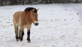 άγριος χειμώνας αλόγων Στοκ Εικόνες