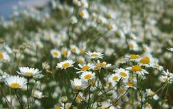 Άγριος chamomile, λουλούδια μαργαριτών που αυξάνεται στο πράσινο λιβάδι Στοκ Εικόνες
