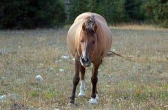 Άγριο άλογο - έγκυος φοράδα κόλπων δερμάτων ελαφιού που περπατά στο βράδυ στην άγρια σειρά αλόγων βουνών Pryor στη Μοντάνα ΗΠΑ Στοκ Εικόνες