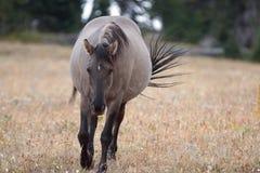 Άγριο άλογο - γκρίζα έγκυος φοράδα Grulla που περπατά το απόγευμα στην άγρια σειρά αλόγων βουνών Pryor στα σύνορα Mon Στοκ φωτογραφία με δικαίωμα ελεύθερης χρήσης