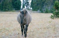 Άγριο άλογο - γκρίζα έγκυος φοράδα Grulla που περπατά το απόγευμα στην άγρια σειρά αλόγων βουνών Pryor στα σύνορα Mon Στοκ Εικόνες