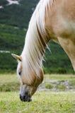 Άγριο άλογο κάστανων, δολομίτες, Ιταλία Στοκ Εικόνες