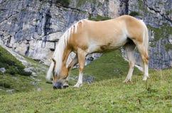 Άγριο άλογο κάστανων, δολομίτες, Ιταλία Στοκ Φωτογραφία