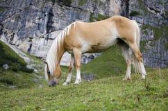 Άγριο άλογο κάστανων, δολομίτες, Ιταλία Στοκ φωτογραφία με δικαίωμα ελεύθερης χρήσης