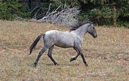 Άγριο άγριο άλογο - μπλε Roan yearling φοράδα που τρέχει στα βουνά Pryor την άγρια σειρά αλόγων στη Μοντάνα ΗΠΑ Στοκ Εικόνες