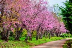 Άγριο άνθος κερασιών Himalayan, όμορφο ρόδινο λουλούδι sakura Στοκ Φωτογραφίες