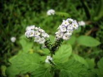 Άγριο άνθος λουλουδιών ουρών σκορπιών Στοκ Εικόνες