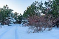 Άγριο δάσος των ροδαλών Μπους και πεύκων στο υπόβαθρο Ρωσία, Stary Krym Στοκ Εικόνα