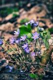 Άγριο δάσος hepatica Anemone λουλουδιών την άνοιξη Στοκ Εικόνες