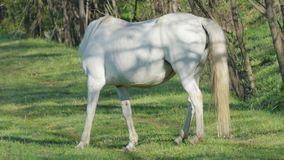 Άγριο άσπρο άλογο στα ξημερώματα φιλμ μικρού μήκους