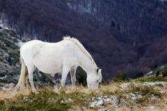 Άγριο άσπρο άλογο μάστανγκ, τροφές ενός χιονώδους τομέα Στοκ φωτογραφία με δικαίωμα ελεύθερης χρήσης