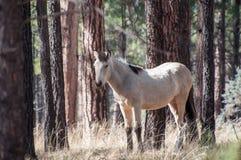 Άγριο άσπρο άλογο στο δάσος Στοκ Φωτογραφία