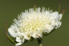 Άγριο άσπρο λουλούδι στο πράσινο υπόβαθρο Στοκ Εικόνα