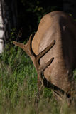 Άγριο άλκες ταύρων Antlered ή Wapiti & x28 Cervus canadensis& x29  βοσκή του εθνικού πάρκου Αλμπέρτα Καναδάς Banff Στοκ Εικόνες
