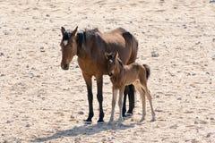 Άγριο άλογο με το γατάκι Στοκ Εικόνες