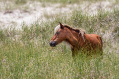 Άγριο άλογο στον αμμόλοφο Στοκ Φωτογραφίες