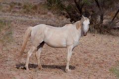 Άγριο άλογο στον εσωτερικό - εικόνα αποθεμάτων Στοκ Φωτογραφία