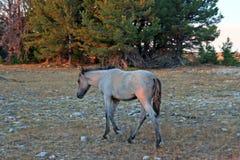 Άγριο άλογο στο ηλιοβασίλεμα - μπλε Roan πουλάρι στην κορυφογραμμή Tillett στα βουνά Pryor της Μοντάνα ΗΠΑ Στοκ Φωτογραφίες
