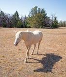 Άγριο άλογο - φοράδα Palomino στην κορυφογραμμή Tillett στην άγρια σειρά αλόγων βουνών Pryor στα σύνορα του Ουαϊόμινγκ Μοντάνα Στοκ φωτογραφίες με δικαίωμα ελεύθερης χρήσης