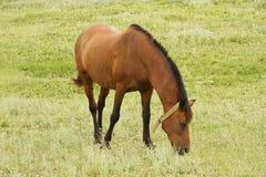 Άγριο άλογο Στοκ Εικόνες