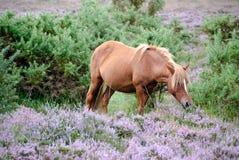 Άγριο άλογο Στοκ Φωτογραφίες