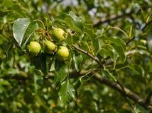 Άγριο δέντρο αχλαδιών στοκ φωτογραφία