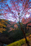 Άγριο δέντρο κερασιών Himalayan στο ANG Khang, Chiang Mai Doi Στοκ φωτογραφία με δικαίωμα ελεύθερης χρήσης