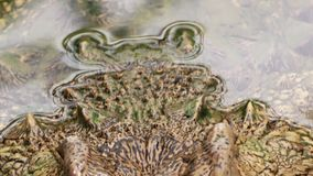 Άγριο έρπον ζώο σώματος Crockodile απόθεμα βίντεο