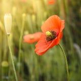 Άγριο αναδρομικό ύφος λουλουδιών παπαρουνών Στοκ Φωτογραφίες
