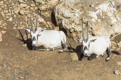 Άγριο αραβικό oryx δύο Στοκ εικόνες με δικαίωμα ελεύθερης χρήσης