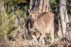Άγριο αρσενικό ανατολικό γκρίζο καγκουρό, ιστορικό πάρκο δασωδών περιοχών, Βικτώρια, Αυστραλία, τον Ιούνιο του 2019 στοκ φωτογραφία