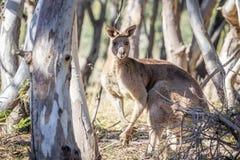 Άγριο αρσενικό ανατολικό γκρίζο καγκουρό, ιστορικό πάρκο δασωδών περιοχών, Βικτώρια, Αυστραλία, τον Ιούνιο του 2019 στοκ εικόνα με δικαίωμα ελεύθερης χρήσης